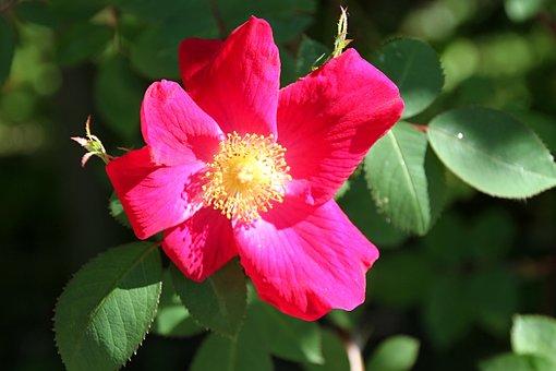 Stock Rose, Red, Blossom, Bloom, Flower, Garden, Nature