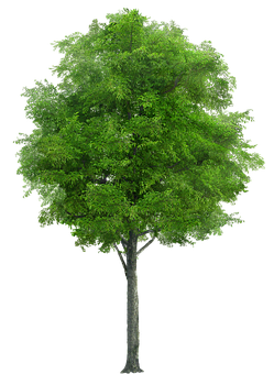 Tree, Nature, Forest, Trunk, Vegetation, Wood, Png