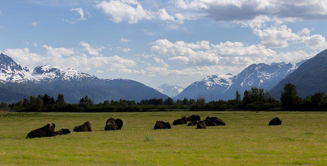 Buffalo, Wild, Animal, Wildlife, Nature, Big, Mammal