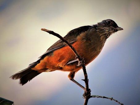 Thrush, Bird, Creamy Orange, Observation