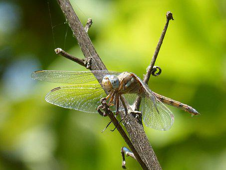 Dragonfly Amrilla, Branch, Orthetrum Albistylum