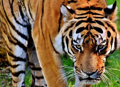 Tiger, Predator, Fur, Beautiful, Dangerous, Cat