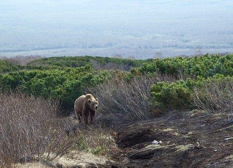 Brown Bear, Predator, Wild Beast, Animal, Danger