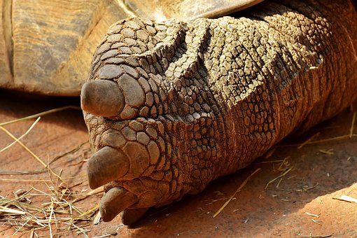 Giant Tortoise, Foot, Rear, Turtle, Animal World