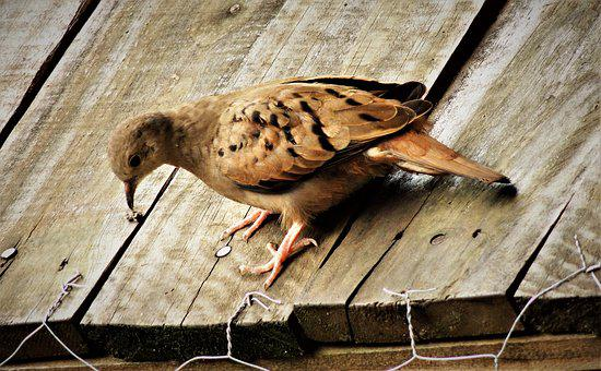 Ruddy Ground Dove, Weasels, Birdie, Bird, Roof