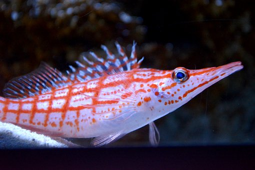 To Download Gombe, Aquarium, Saltwater Fish, Fish