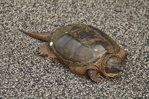 Snapping Turtle, Turtle, Chelydra Serpentina, Snapping