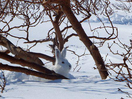 Hare, Whitey, Animal, Rodent, Winter, Snow, Nora