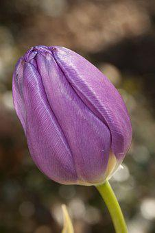 Tulip, Flower, Purple, Floral, Tulipa, Spring, Colorful