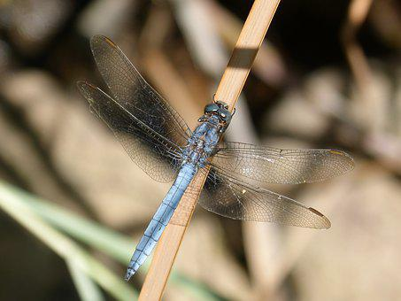 Blue Dragonfly, Stem, Flying Insect