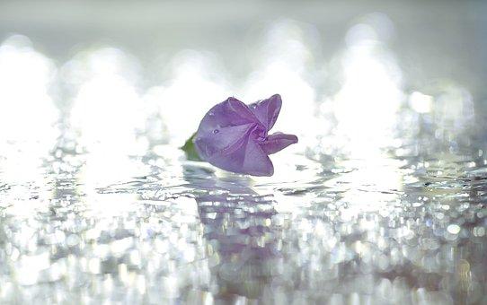 Flowers, Bindweed, Pink, Minor, Three, Still Life