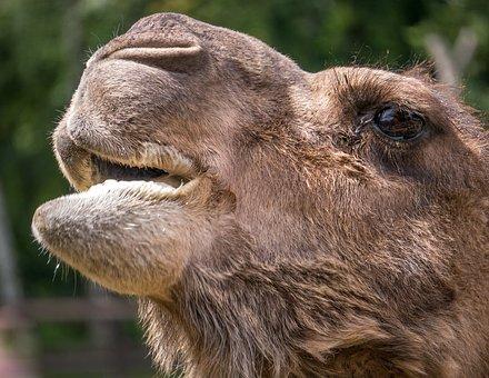 Camel, Animals, Desert Ship, Tunisia, Caravan, Bedouin