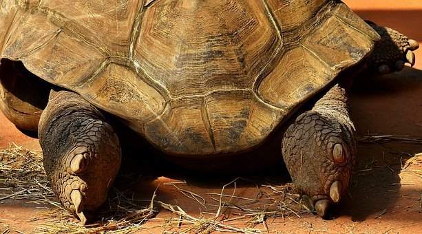 Giant Tortoise, Feet, Rear, Animal, Panzer, Zoo, Turtle