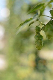 Hops, Beer, Green, Bavaria, Brew, Umbel, Plant