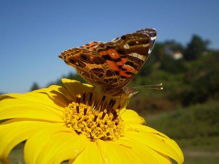 Butterfly, Sucking, Yellow Flower, Libar