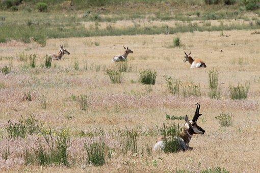 Pronghorn, American Antelope, Yellowstone, Antelope
