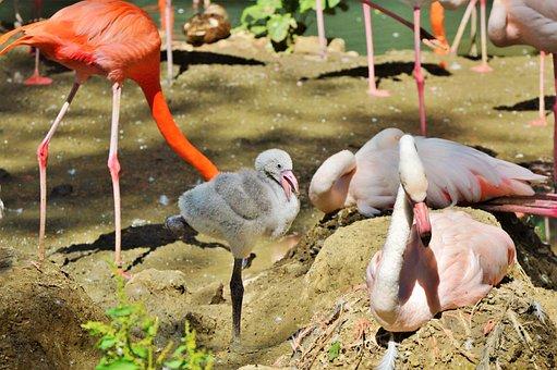 Flamingo, Chicks, Young Flamingo, Bird, Pink, Bill