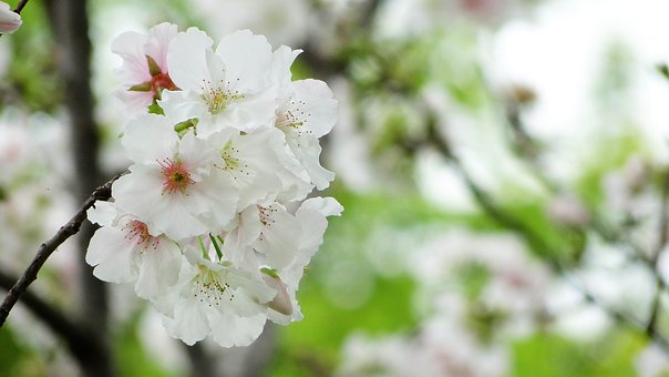Flower, Cherry Blossoms, The Big Island Of Sakura
