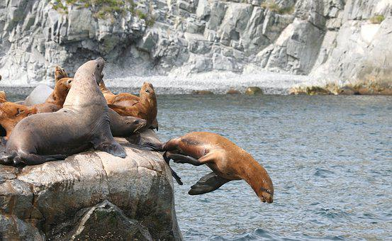 Sea Lions, Rookery, Harem, Cleaver, Coast, Sea stones