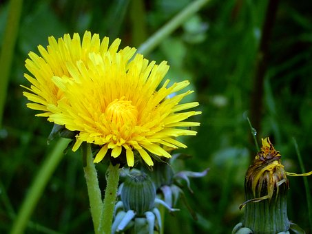 Meadow, Dandelion, Common Dandelion, Close