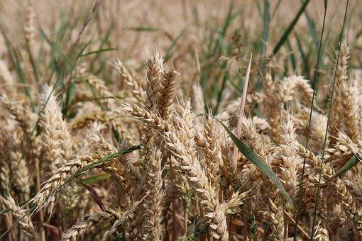 Cereals, Cornfield, Summer, Ear, Field, Nature, Plant