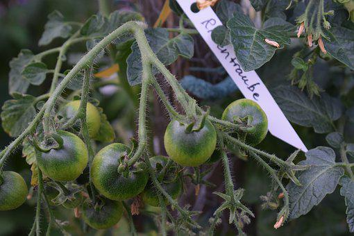 Tomato, Tomatoes, Cultivation, Vegetables, Vegetable