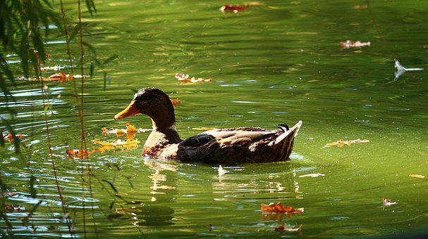 Duck, Park, Water, Wildlife, Environment, Bird, Animal