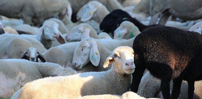 Sheep Heads, Sleeping Animals Stove, Flock Of Sheep