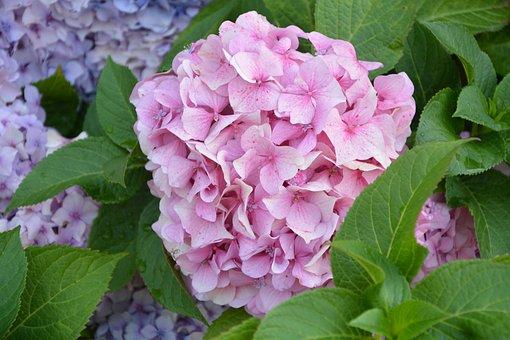 Flower Ball Pink, Hydrangea, Pale Pink, Plant
