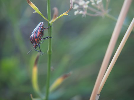 Beetle, Insect, Halm, Nature, Black Beetle, Red Beetle