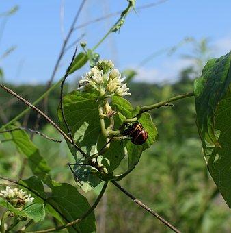 Milkweed Beetles On Milkweed, Insect, Animal, Mating