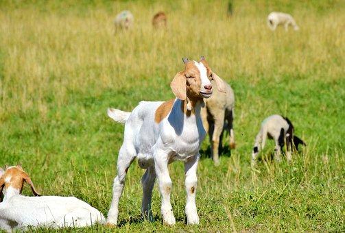 Goat, Prima Donna, Geiss, Little Kids, Livestock