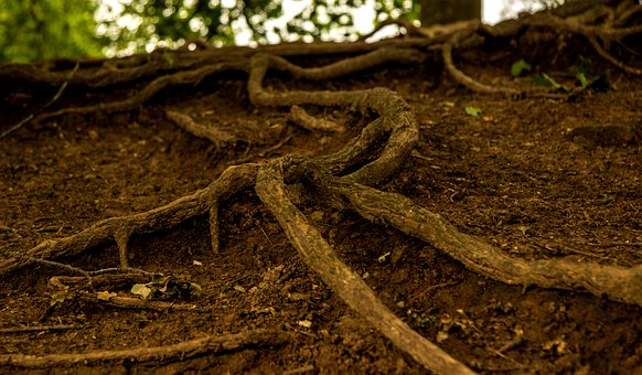 Root, Tree, Rooted, Nature, Forest, Log, Strains, Old