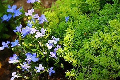Krupnyj Plan, Moss, Flowers, Blue, With, Summer, Flower