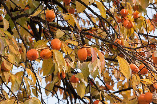 Persimmon, Tree, Autumn, Fruit, Nature, Natural, Branch