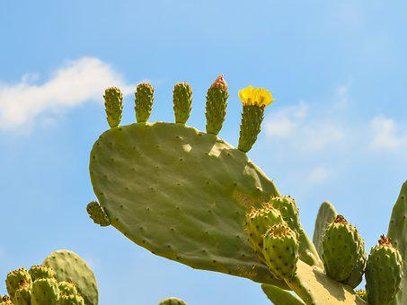 Prickly Pear, Plant, Cactus, Nature, Mediterranean