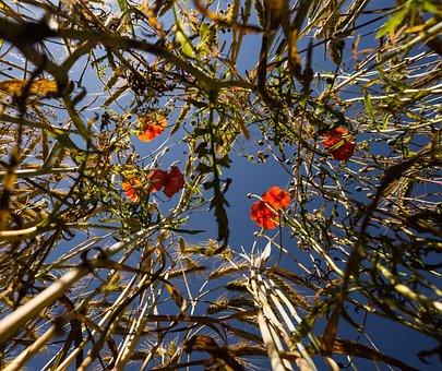 Nature, Poppy, Red Poppy, Poppy Flower, Field, Summer