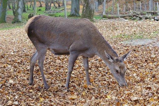 Roe Deer, Forest, Wild, Nature, Fallow Deer, Animal