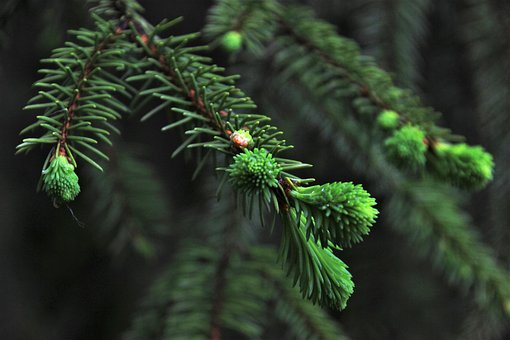 Spruce, Christmas Tree, Needles, Nature, Branch, Tree