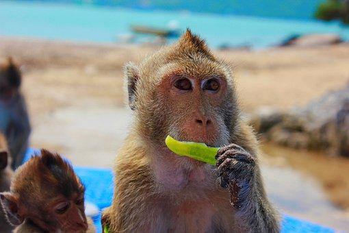 Monkey, Toque, View, Closeup, Snout, Primacy