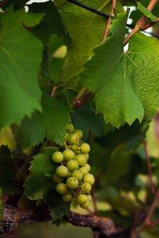 Summer, Grapevine, Vines, Grapes, Wine, Vine, Green