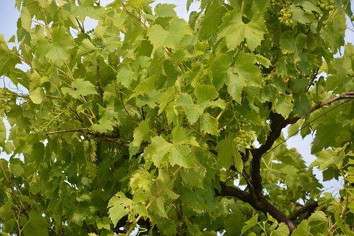 Vine, White Grape, Cep, Vineyard, Cluster, Plants