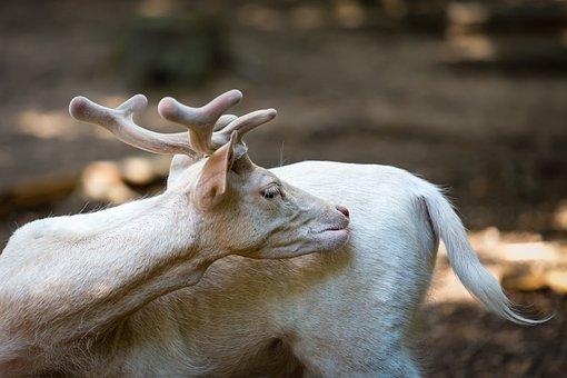 Dámszarvas, White, Mammal, Animal, Nature, Forest