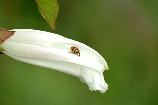 Ladybug, Blossom, Nature, Spring, Bug, White, Macro