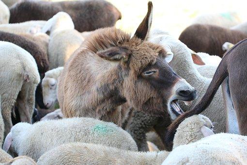 Young Ass, Sheep, Dog Eared