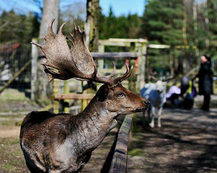 Hirsch, Animal, Wild, Zoo, Balmy Bruck, Lower Saxony