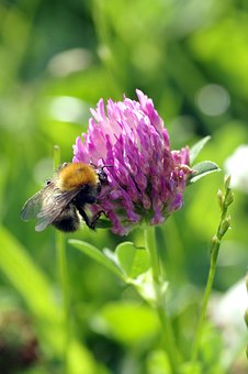 Bee, Insect, Pollinate, Clover, Red, Blue, Violet