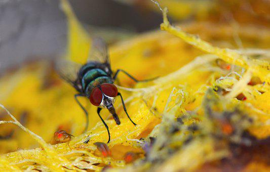 Fly, Macro, Mango, Insect, Nature, Bug, Close, Color