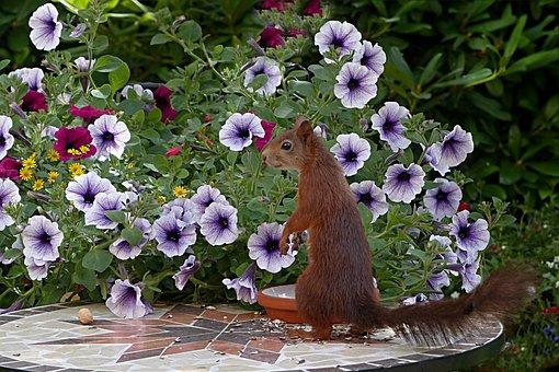 Animal, Mammal, Squirrel, Sciurus Vulgaris Major