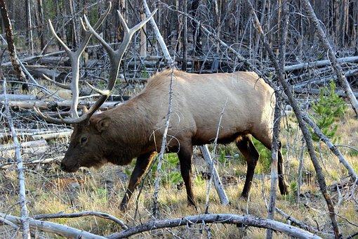 Wapiti Deer, Yellowstone, National Park, Usa, Animal